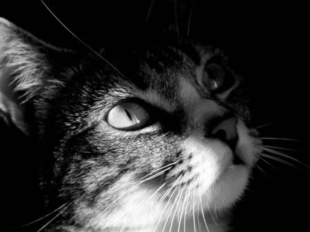 image-chat-noir-blanc-408-800-600